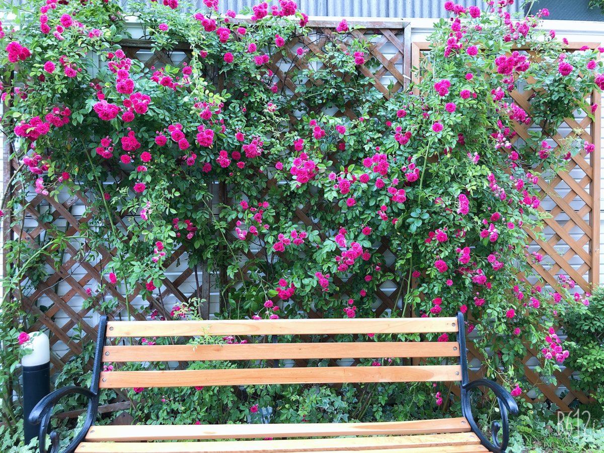 【門真】🌹真っ赤なバラが咲きました🌹