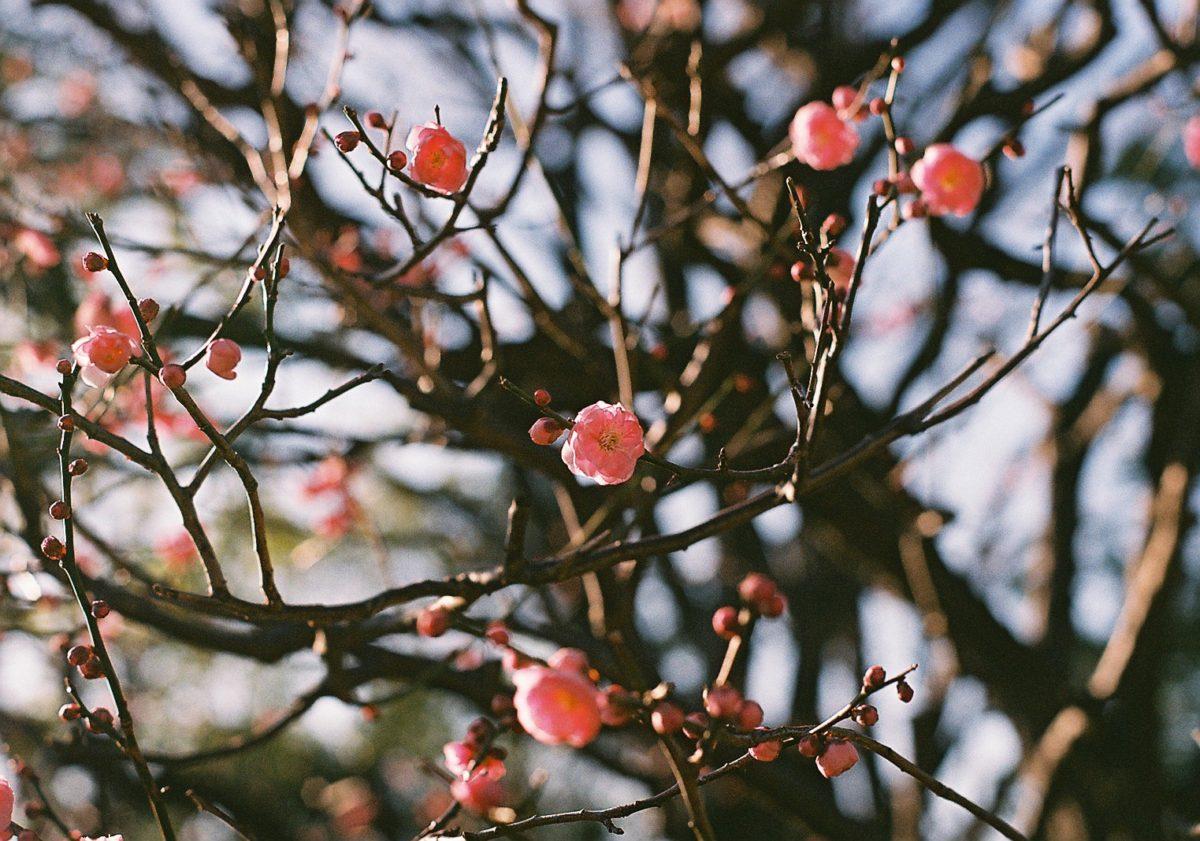 【長居公園】梅は咲いたか、桜は、、?🌸