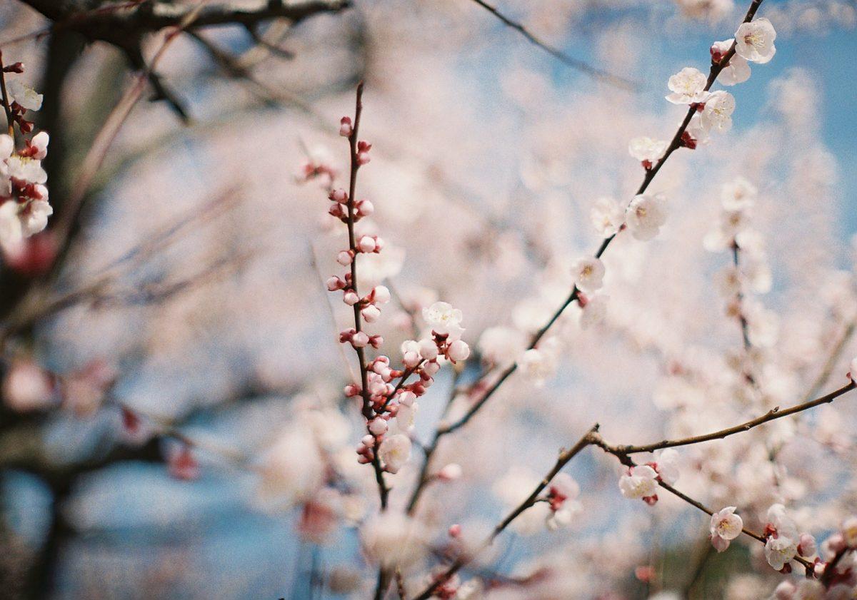 【長居公園】あんずの花咲く頃(3月フィルム日記②)
